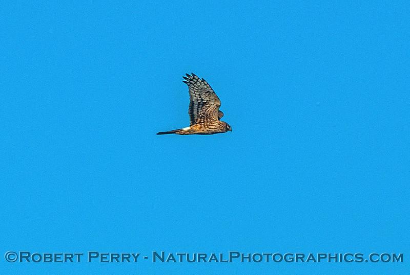 Northern harrier in flight.
