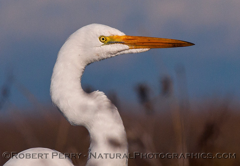 Great white egret - close.