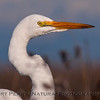 Great white egret - close.