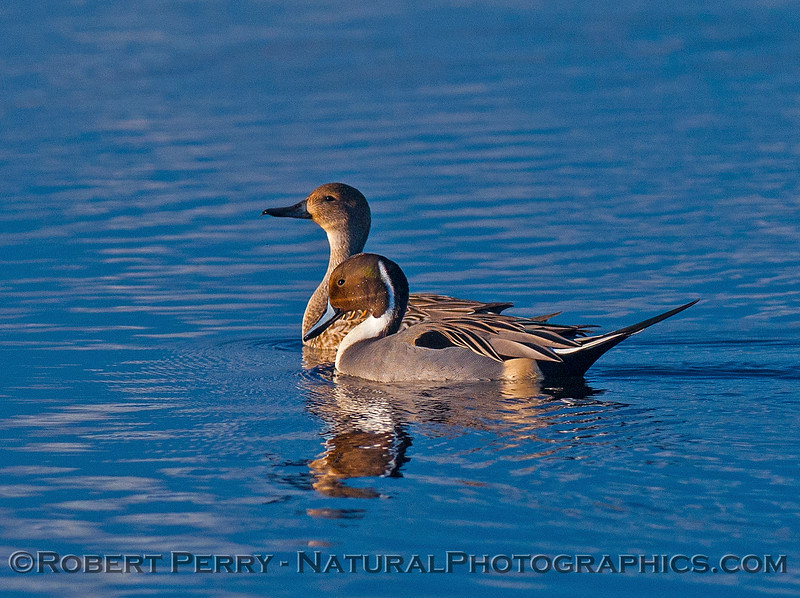 Northern pintails - Mr. and Mrs.