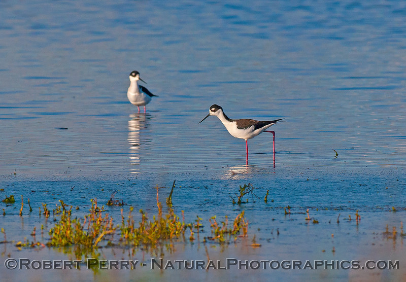 Black-necked stilts.