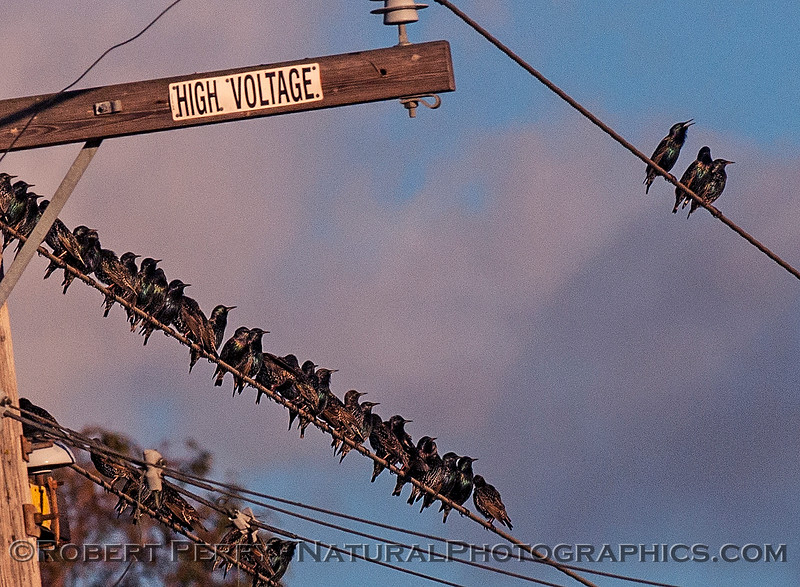 European starlings a few perched on wires.