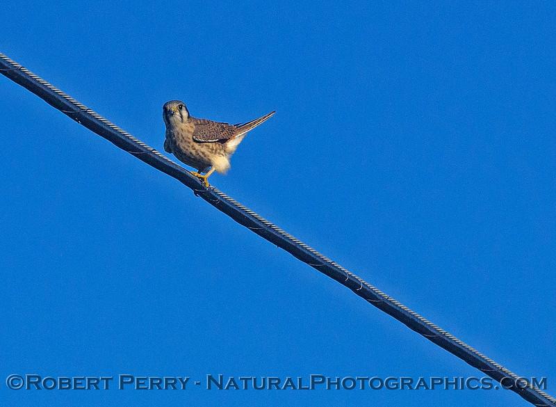 American kestrel on an overhead wire.