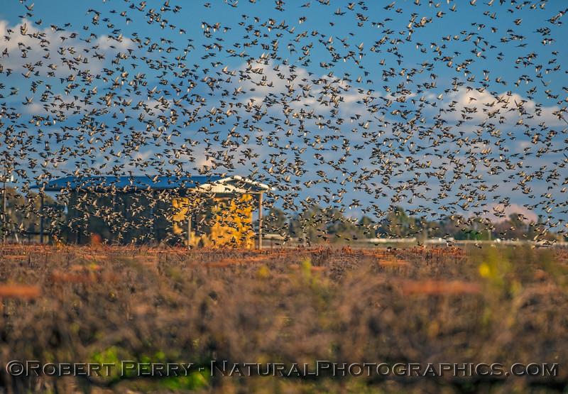 European starling massive flock.
