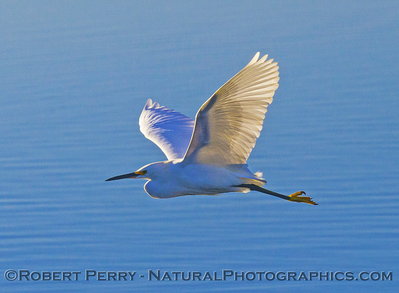 Snowy egret in flight.