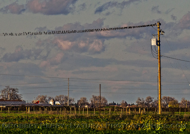 European starlings perched on distant wires.