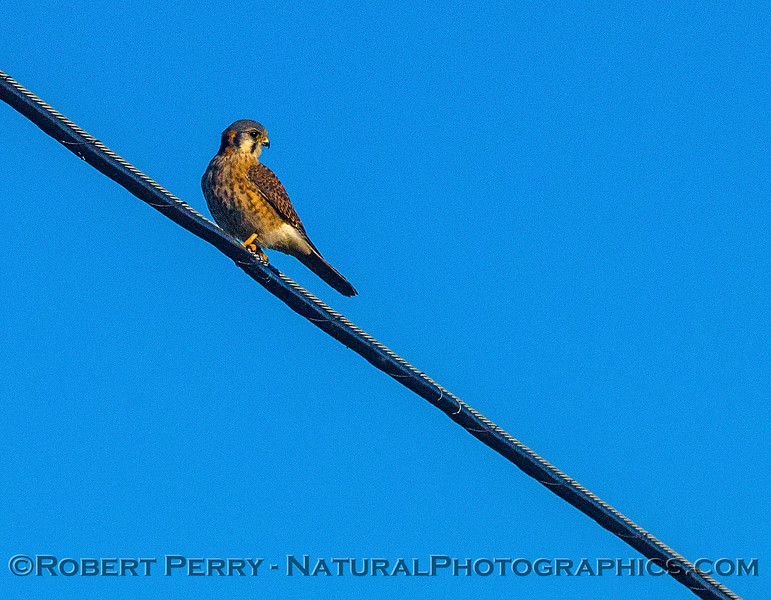 American kestrel on an overhead wire.