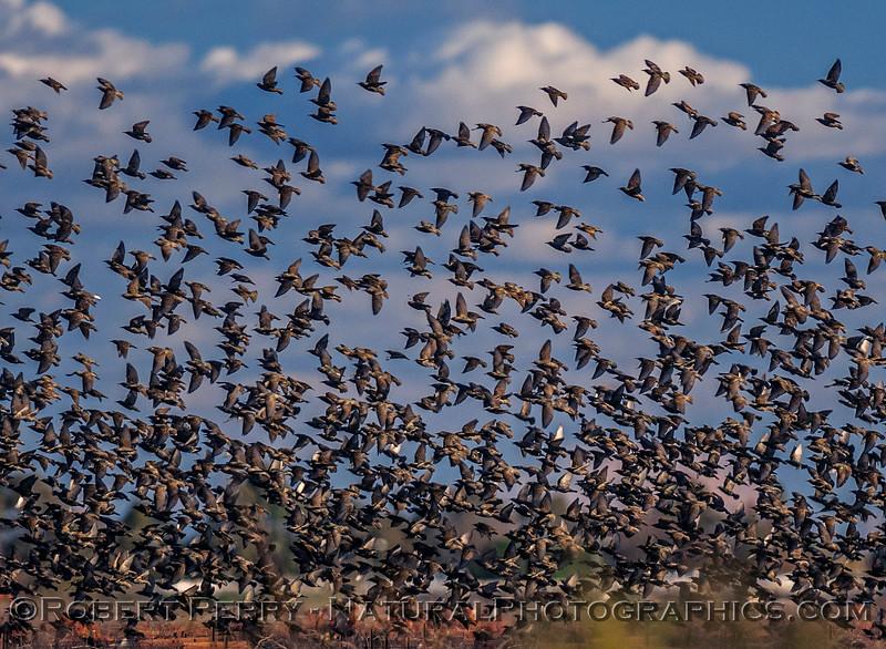 European starlings taking flight en masse in an ag field.