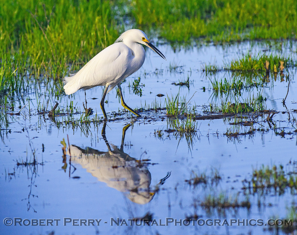 Snowy egret and its reflection.