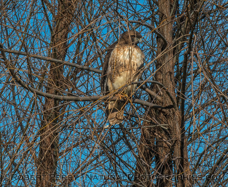 Red-tailed hawk....keeping an eye on things.