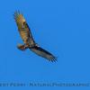 Turkey vulture - in flight.