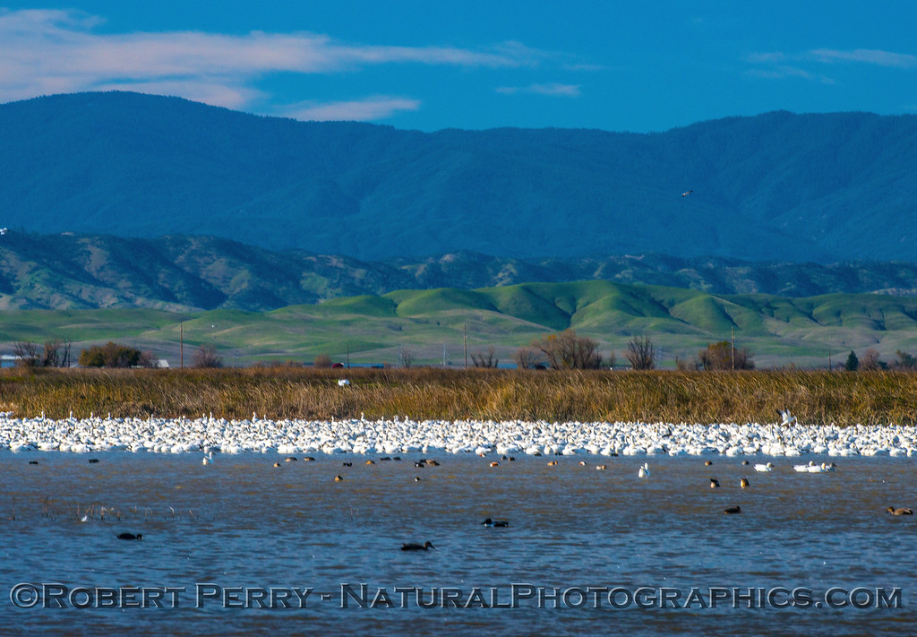 Snow geese in the lee of the dense reeds, mostly sleeping.