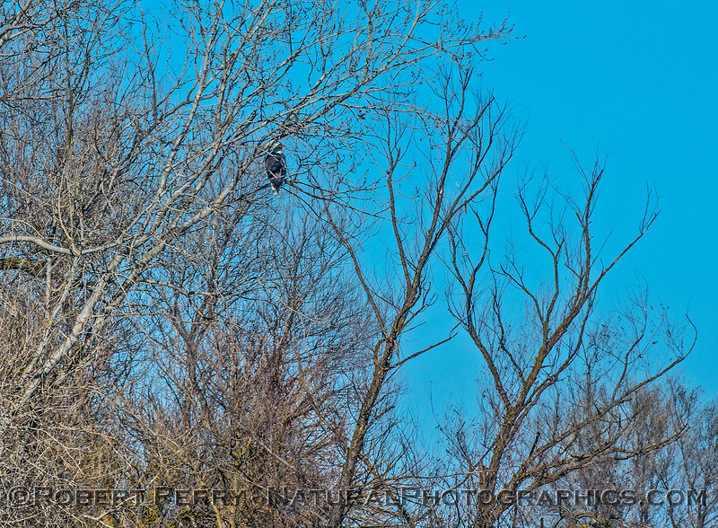 Wide angle view - adult bald eagle in tree.