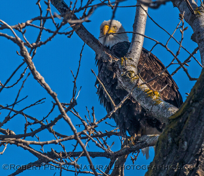 Adult bald eagle in a tree near the road.