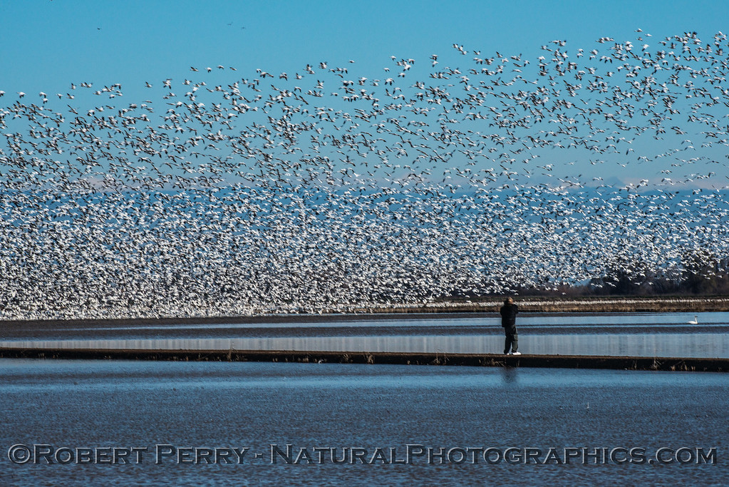 """Image 3 of 4:  Photographer walks out on levee perhaps causing the birds to take flight.  Watch the """"wave"""" of birds go into the air from right to left in the following images."""