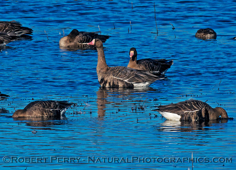 White fronted geese.