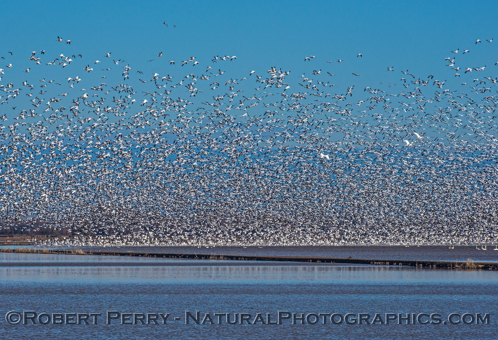 Swans and geese - huge flock suddenly takes to the air.