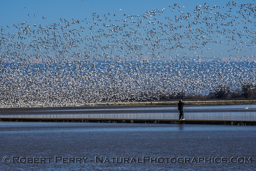 """Image 4 of 4:  Photographer walks out on levee perhaps causing the birds to take flight.  Watch the """"wave"""" of birds go into the air from right to left in the following images."""