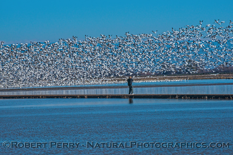 """Image 2 of 4:  Photographer walks out on levee perhaps causing the birds to take flight.  Watch the """"wave"""" of birds go into the air from right to left in the following images."""