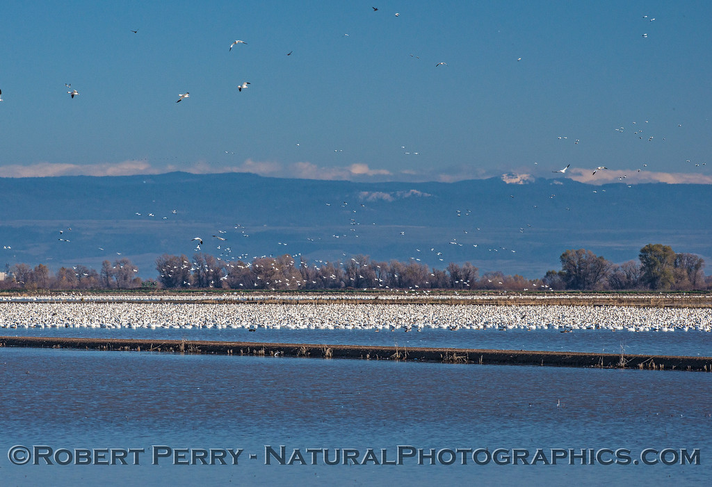 A small portion of the 180⁰ panorama of ponds full of swans and geese tightly packed together, mostly resting.  Some snow on the Sierra peaks in the back.