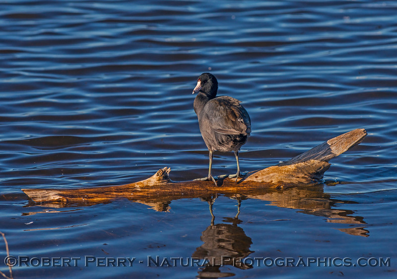 Coot on a log.