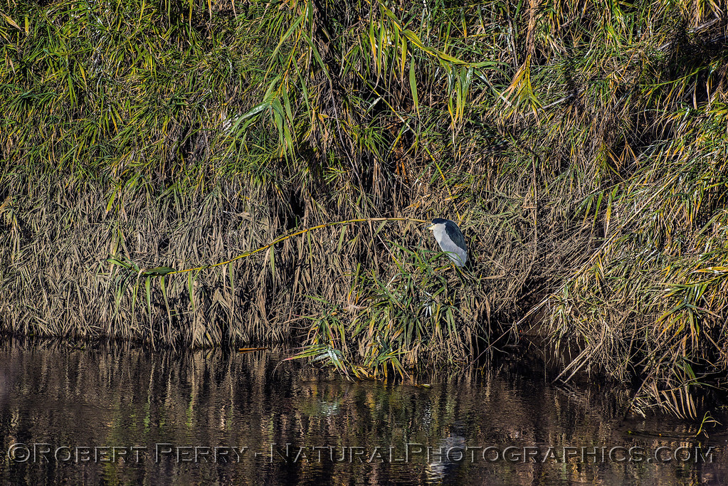 One of many black-crowned night herons in the foliage along the banks of an irrigation channel.