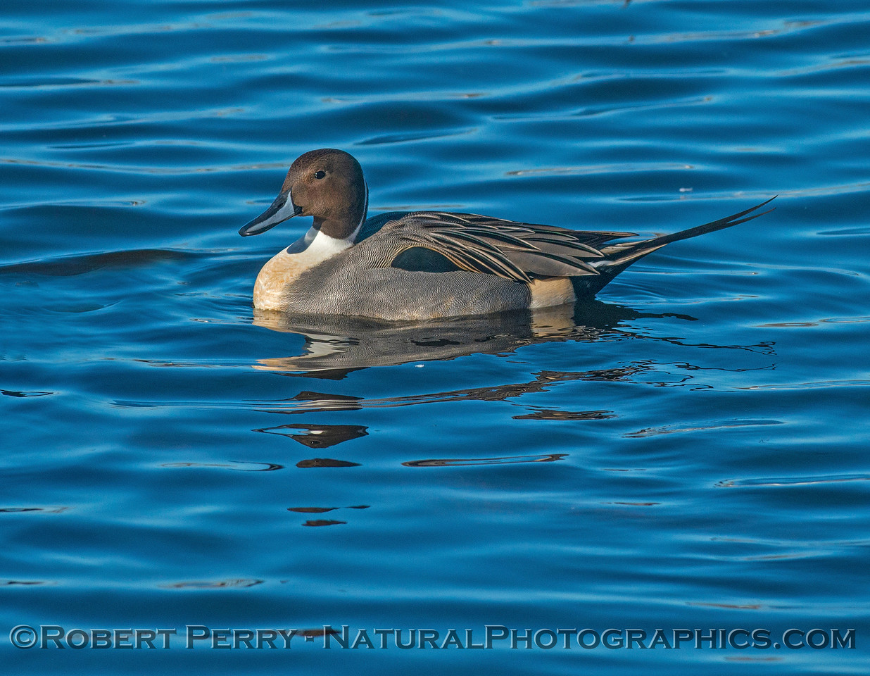 Pintail - male.