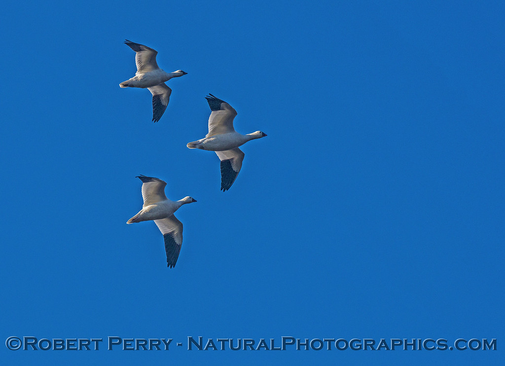 Snow geese in the air.