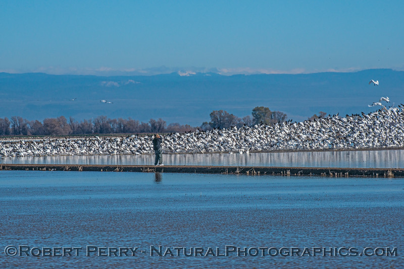 """Image 1 of 4:  Photographer walks out on levee perhaps causing the birds to take flight.  Watch the """"wave"""" of birds go into the air from right to left in the following images."""