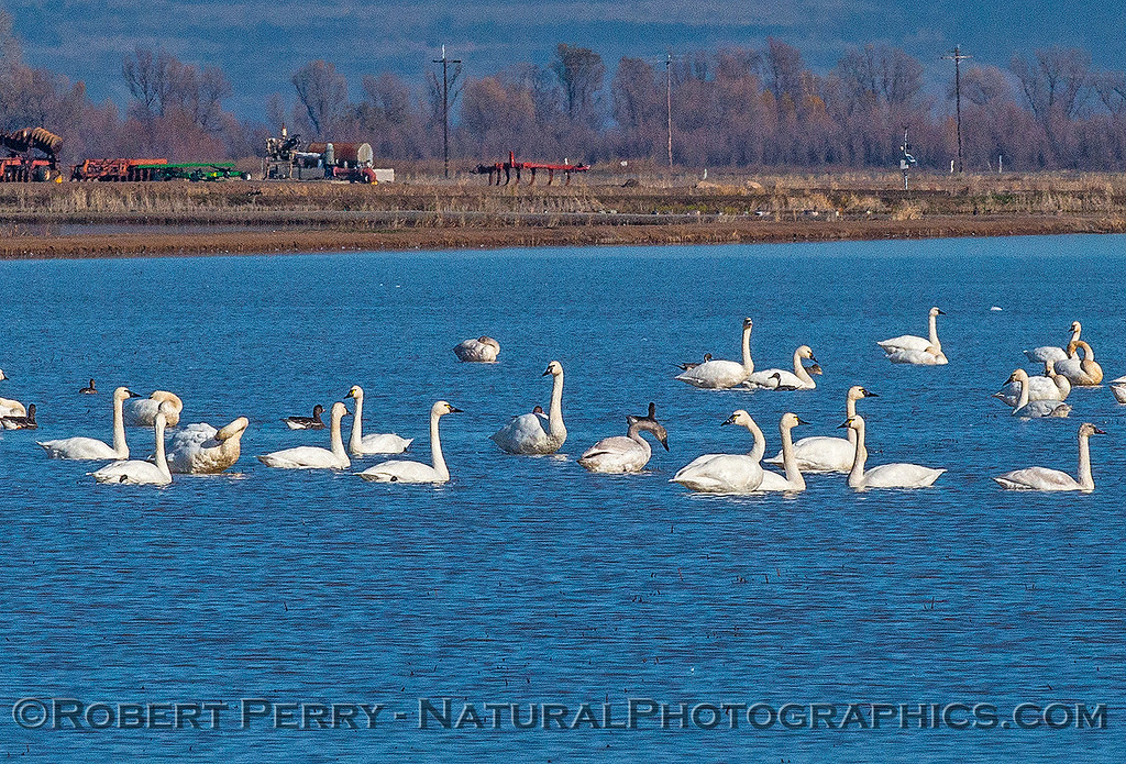 Tundra swans and a couple of white-fronted geese.