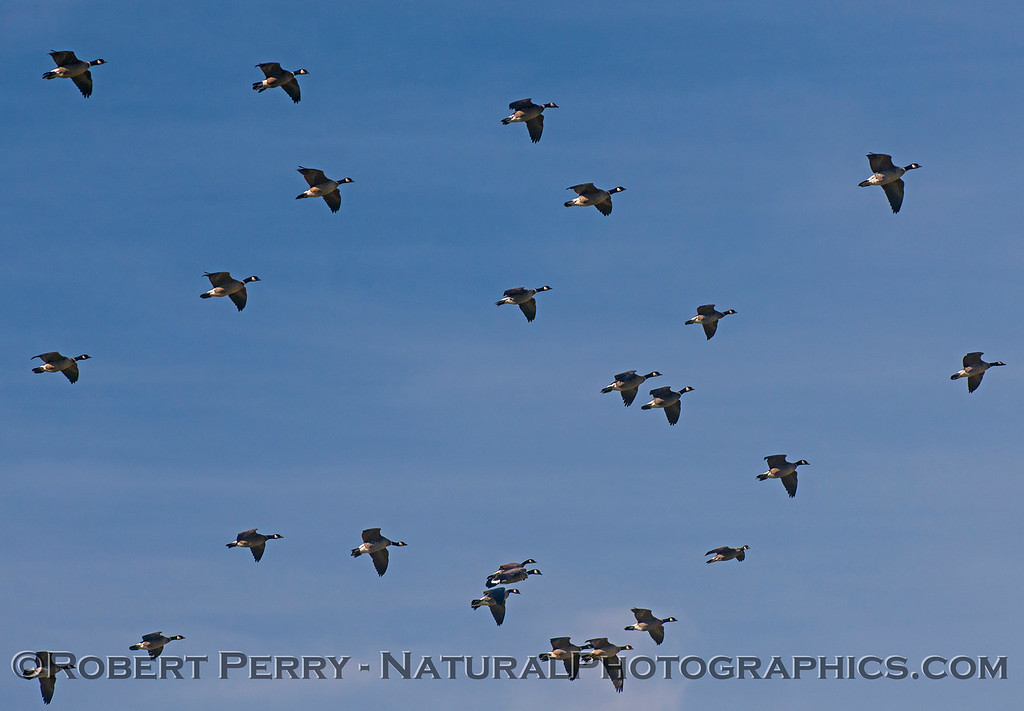 Branta canadensis cackling geese in flight 2016 12-27-Staten Island - Delta -c-073
