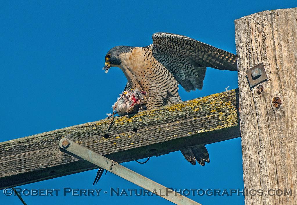 Falco peregrinus peregrine falcon FEEDING 2016 12-27-Staten Island - Delta -c-458