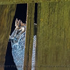 Bubo virginianus great horned owl 2016 12-27-Staten Island - Delta -067