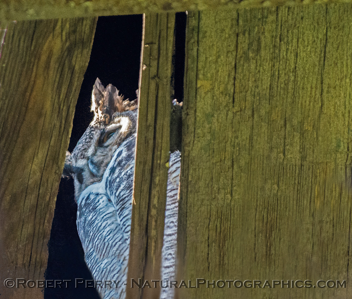 Bubo virginianus great horned owl 2016 12-27-Staten Island - Delta -067