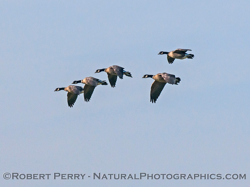Branta canadensis cackling geese in flight 2016 12-27-Staten Island - Delta -c-056