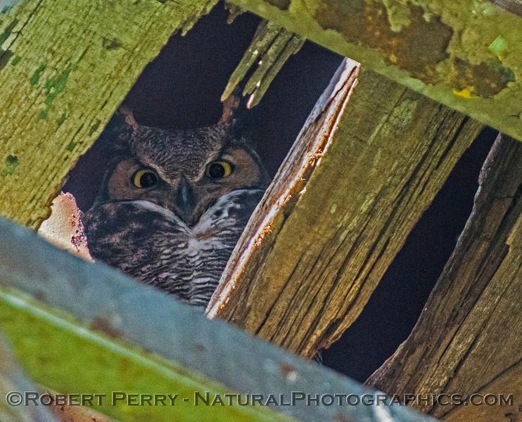 Bubo virginianus great horned owl 2016 12-27-Staten Island - Delta -031