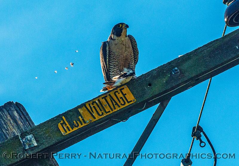 Falco peregrinus peregrine falcon FEEDING 2016 12-27-Staten Island - Delta -c-004