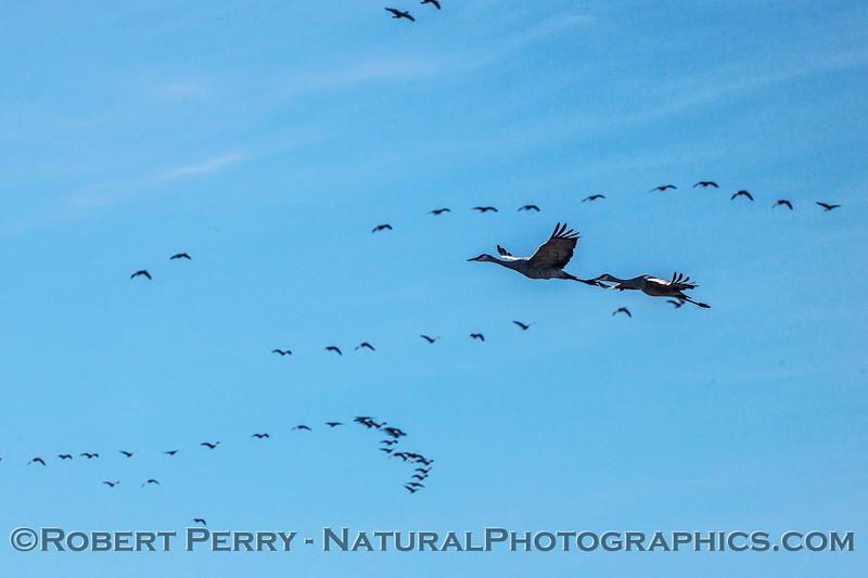 Grus canadensis sandhill cranes & Branta canadensis cackling geese in flight 2016 12-27-Staten Island - Delta -c-006