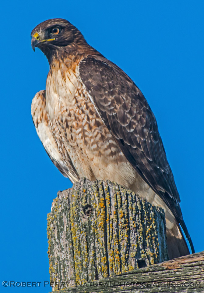 Buteo jamacensis on telephone pole 2016 12-27-Staten Island - Delta -022
