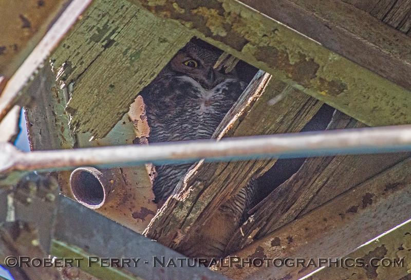 Bubo virginianus great horned owl 2016 12-27-Staten Island - Delta -006