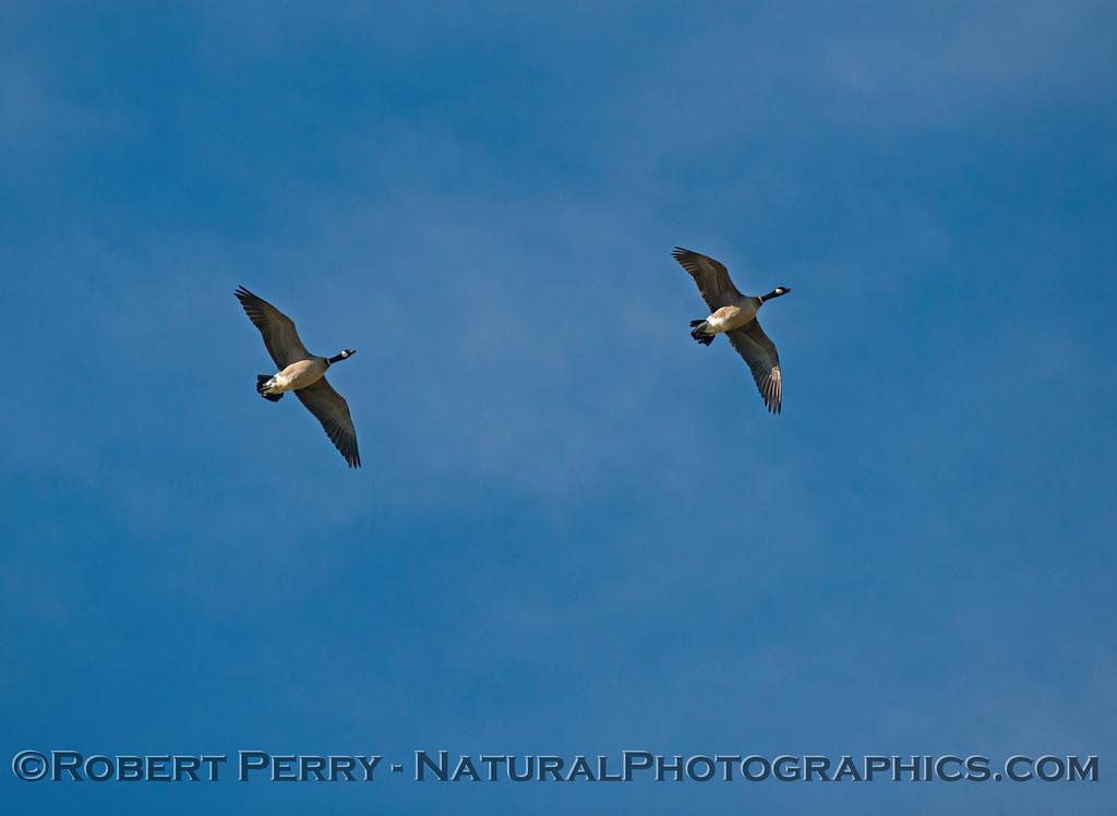 Branta canadensis cackling geese in flight 2016 12-27-Staten Island - Delta -c-021