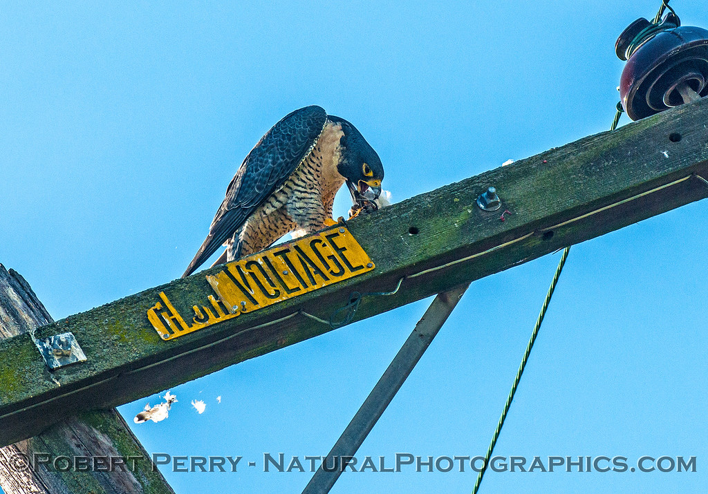 Falco peregrinus peregrine falcon FEEDING 2016 12-27-Staten Island - Delta -c-297