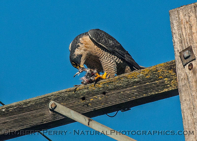 Falco peregrinus peregrine falcon FEEDING 2016 12-27-Staten Island - Delta -c-391