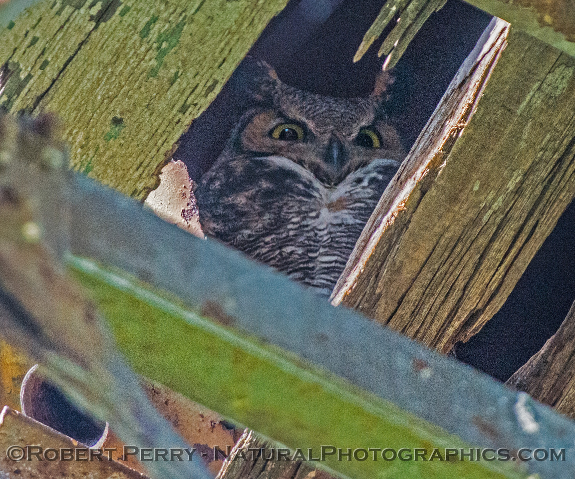 Bubo virginianus great horned owl 2016 12-27-Staten Island - Delta -041