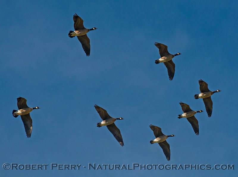 Branta canadensis cackling geese in flight 2016 12-27-Staten Island - Delta -c-004