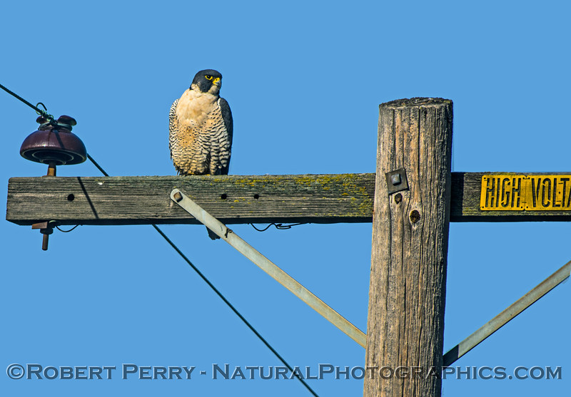 Falco peregrinus on telephone pole arm 2016 12-27-Staten Island - Delta -005