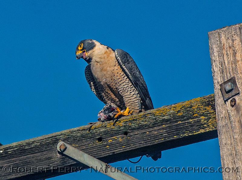 Falco peregrinus peregrine falcon FEEDING 2016 12-27-Staten Island - Delta -c-424
