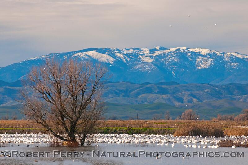 Snow Mountain, snow geese.