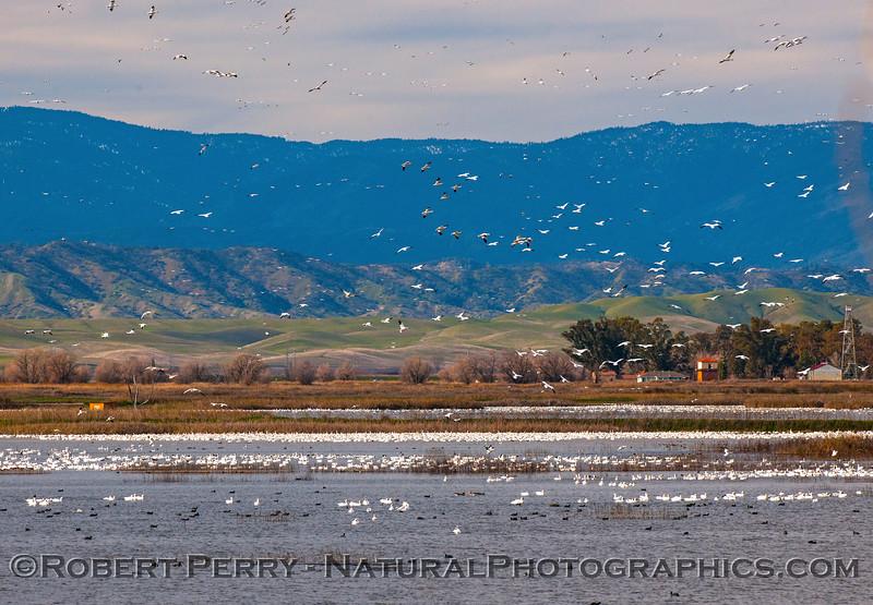 Snow geese pandamonium.