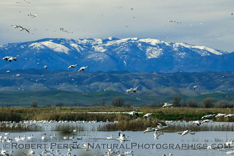 Snow Mountain and snow geese.